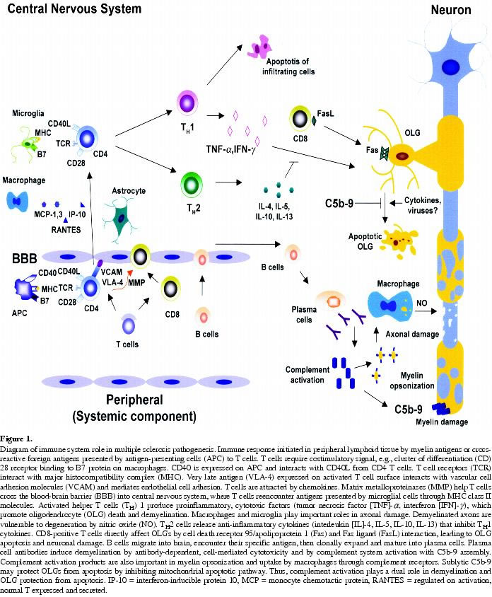 Immunity System Diagram Diagram of Immune System Role