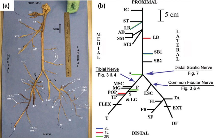 human distal sciatic nerve fascicular anatomy: implications for, Muscles